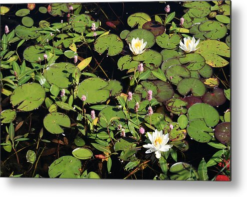 Lilypads Metal Print featuring the photograph Lily Worlds Two by Alan Rutherford