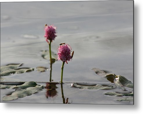 Wasp Lilypads Water Lake Plants Nature Wild Bugs Pink Flower Metal Print featuring the photograph Lilypads And Wasps by Andrea Lawrence