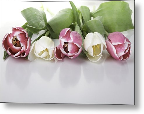 Tulips Metal Print featuring the photograph Line Of Tulips by Enrico Crobu