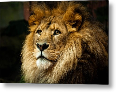 Horizontal Metal Print featuring the photograph Lion by Ann Clarke Images