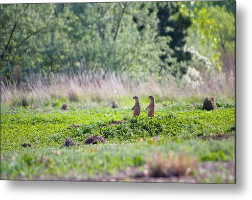 Prairie Dogs Metal Print featuring the photograph Little Bastards by Sam Neumann