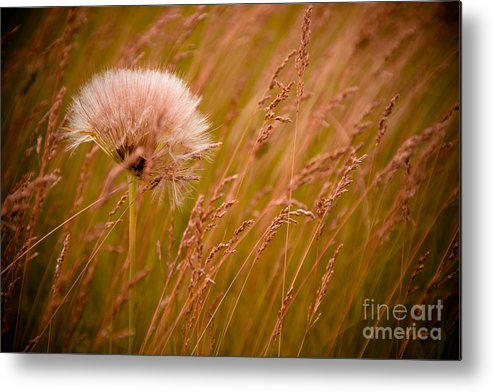 Weed Metal Print featuring the photograph Lone Dandelion by Bob Mintie