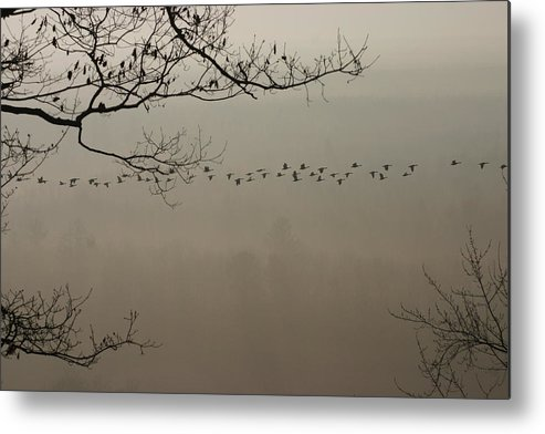 Flying Geese Metal Print featuring the photograph Long Flight by Kevin Dunham