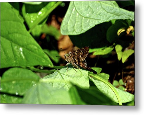 Animal Metal Print featuring the photograph Long Tail Skipper Butterfly 1 by John Trommer