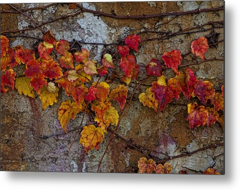 Ivy Metal Print featuring the photograph Love In The Ruins by Robert Ullmann