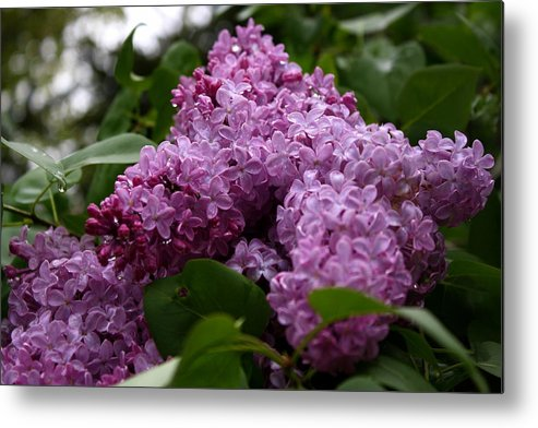 Lilac Metal Print featuring the photograph Lovely Lilacs by Annie Babineau
