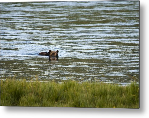 Grizzly Bear Metal Print featuring the photograph Make Way by Chad Davis