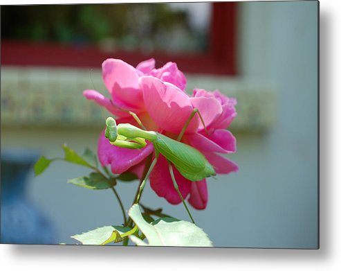 Photography Metal Print featuring the photograph Mantis And Rose by Heather S Huston