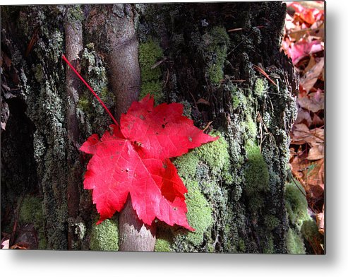 Red Maple Metal Print featuring the photograph Maple Leaf Still Life by Charles Warren