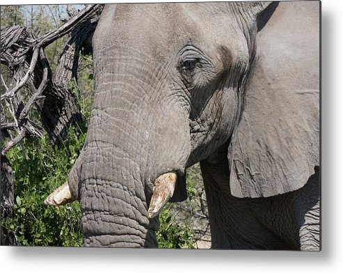Namibia Metal Print featuring the photograph Matriarch by Randy Green