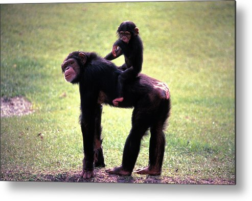 Chimpanzee Metal Print featuring the photograph Maybe Darwin Was Right by Carl Purcell