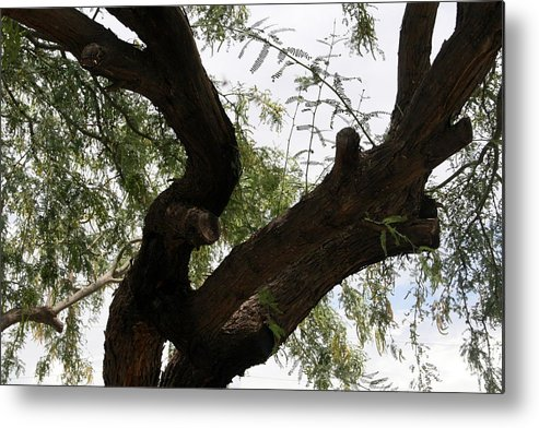 Mesquite Metal Print featuring the photograph Mesquite Tree by Bob Gardner