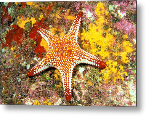 Animal Art Metal Print featuring the photograph Mexico, Gulf Sea Star by Dave Fleetham - Printscapes