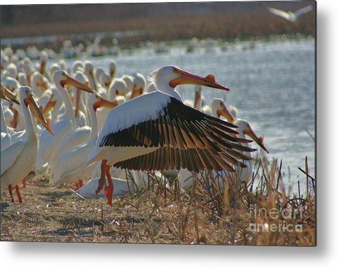 Pelicans Metal Print featuring the photograph Migrating Pelicans by Shari Morehead
