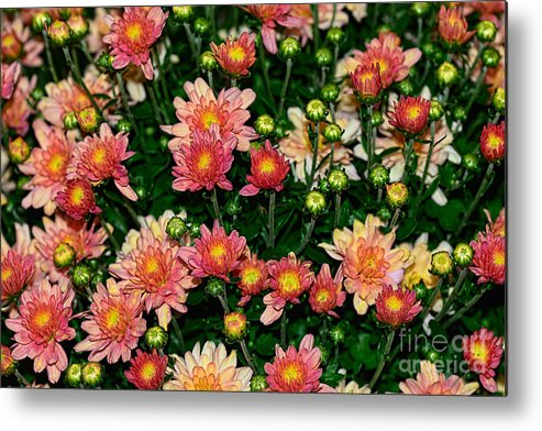 Photography Metal Print featuring the photograph Mini Mums Autumn Tones By Kaye Menner by Kaye Menner