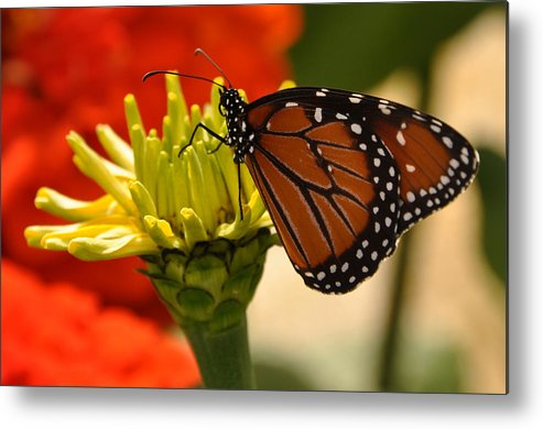 Monarch Metal Print featuring the photograph Minnesota Native by Dominic Kirkpatrick
