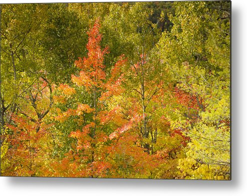 Tree Metal Print featuring the photograph Mixed Autumn by Phill Doherty