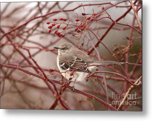 Mockingbird Metal Print featuring the photograph Mockingbird In Winter Rose Bush by Max Allen