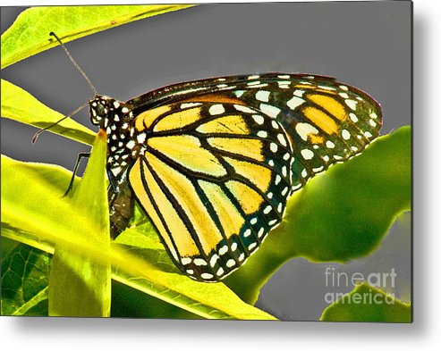 Butterfly Metal Print featuring the photograph Monarch Butterfly by Allan Einhorn