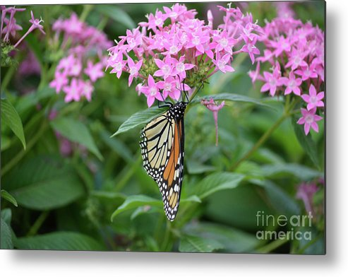 Monarch Butterfly On Pink Flowers Metal Print featuring the photograph Monarch Butterfly On Pink Flowers by Ruth Housley