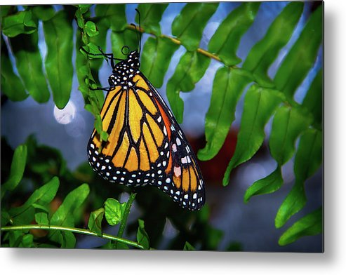 Hanging Metal Print featuring the photograph Monarch Feeding by Garry Gay
