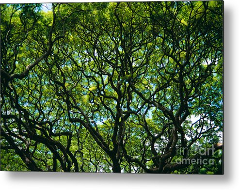 Afternoon Metal Print featuring the photograph Monkeypod Canopy by Peter French - Printscapes