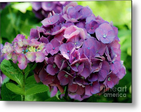 Mophead Hydrangea Metal Print featuring the photograph Mophead Hydrangea by Taylor C Jackson