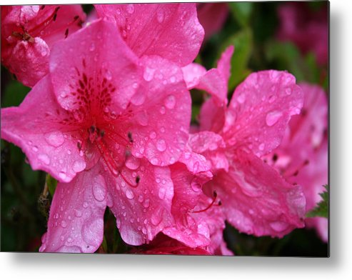 Azaleas Metal Print featuring the photograph Morning Dew by Mary Gaines