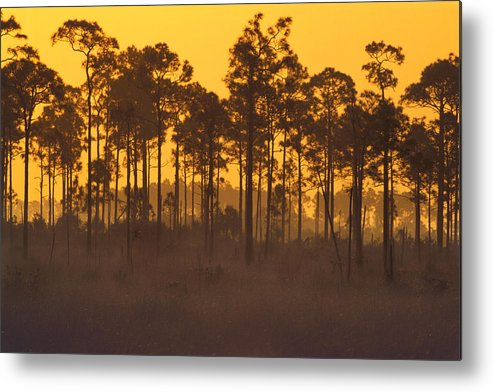 Amber Metal Print featuring the photograph Morning In Mahogany Hammock by Eggers Photography