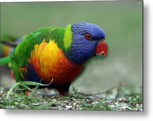 Lorikeet Metal Print featuring the photograph Morning Snack by Lesley Smitheringale