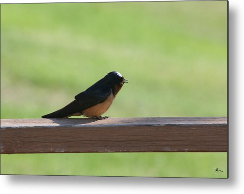 Barn Swallow Nesting Bird Singing Nature Wild Metal Print featuring the photograph Morning Song by Andrea Lawrence