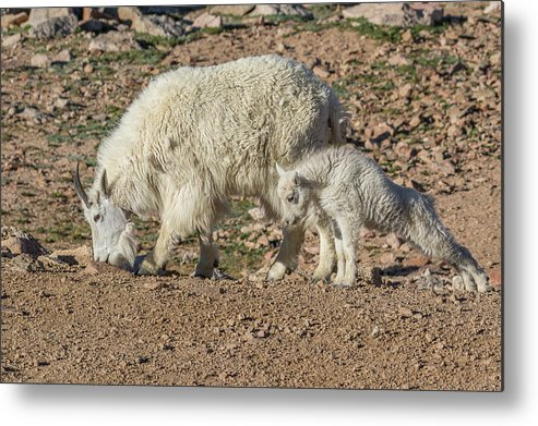 Mountain Goat Metal Print featuring the photograph Mountain Goat Kid Stretches By Mom by Tony Hake
