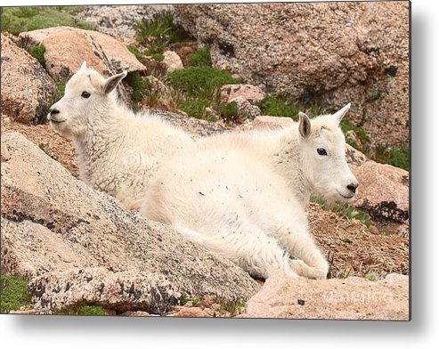 Mountain Goat Metal Print featuring the photograph Mountain Goat Twins by Max Allen