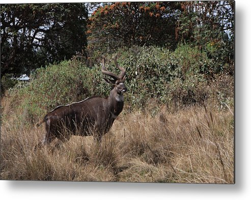 Nyala Metal Print featuring the photograph Mountain Nyala by Aidan Moran