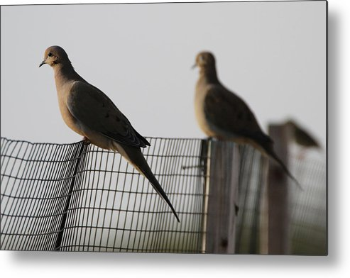 Mourning Doves Metal Print featuring the photograph Mourning Doves Calverton New York by Bob Savage