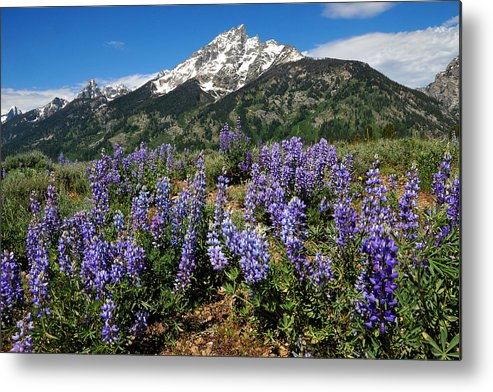 Grand Teton National Park Metal Print featuring the photograph Mt. Teewinot And Lupine by Alan Lenk