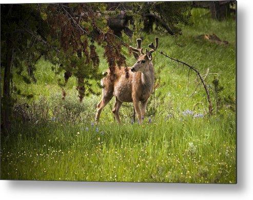 Mule Deer Metal Print featuring the photograph Mule Buck Deer by Chad Davis