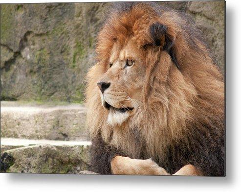 African Lion Cat Feline Regal Royal King Beast Portrait Posed La Metal Print featuring the photograph My Best Side by Craig Hosterman