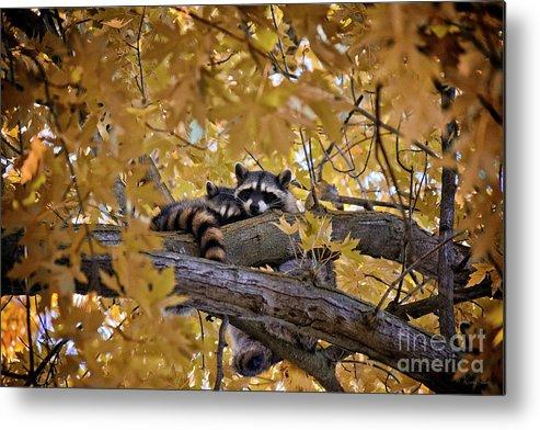 Raccoons Metal Print featuring the photograph Napping Bandits by Karen Goodwin