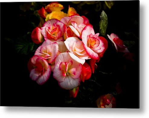 Begonia Metal Print featuring the photograph Night Begonias Three by John Ater