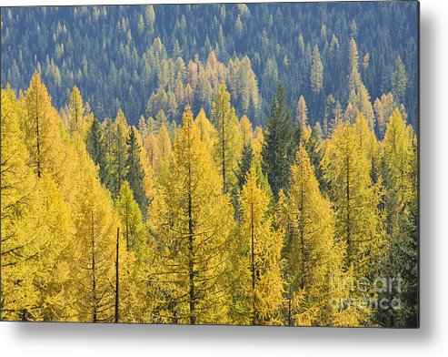 Trees Metal Print featuring the photograph North Idaho Gold by Idaho Scenic Images Linda Lantzy
