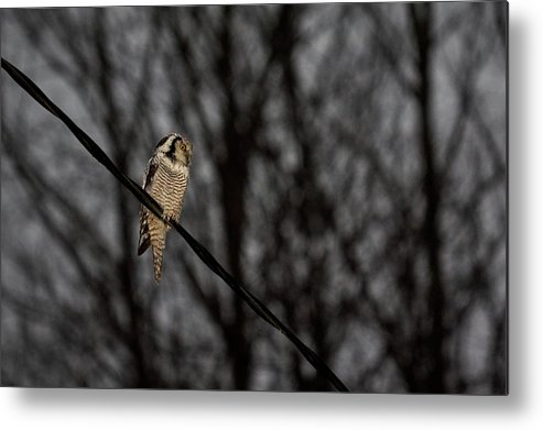 Lehtokukka Metal Print featuring the photograph Northern Hawk-owl 22 by Jouko Lehto