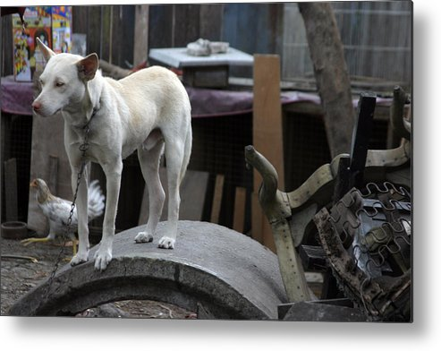 Jez C Self Metal Print featuring the photograph Oi Chicken I Can See You by Jez C Self