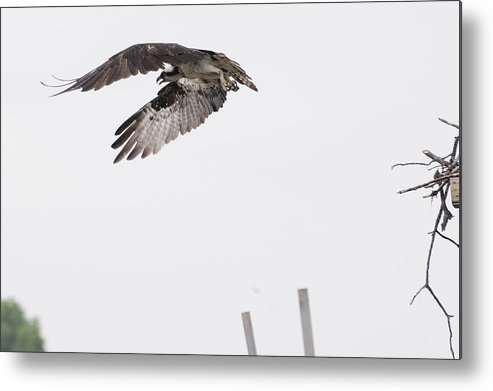 Osprey Bird Animal Wildlife Metal Print featuring the photograph On A Mission by Harold Piskiel