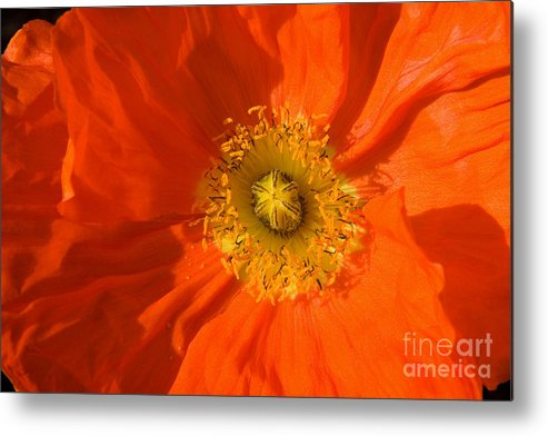Nature Metal Print featuring the photograph Orange Poppy Flower by Julia Hiebaum