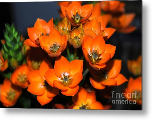Orange Starflower Metal Print featuring the photograph Orange Starflower by Patrick Short