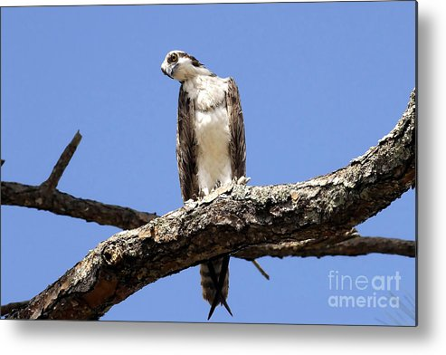 Osprey Metal Print featuring the photograph Osprey In The Trees by David Lee Thompson