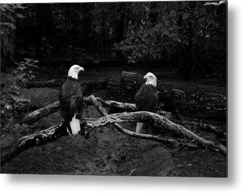 Eagles Metal Print featuring the photograph Our Disappearing Heritage by Aimee Galicia Torres