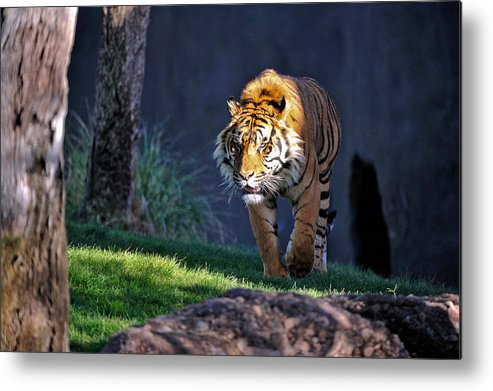 Tiger Metal Print featuring the photograph Out Of The Shadows by Tom Dowd