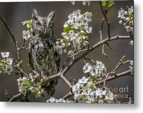 Owl Metal Print featuring the photograph Owl Among The Blossoms by Susan Grube